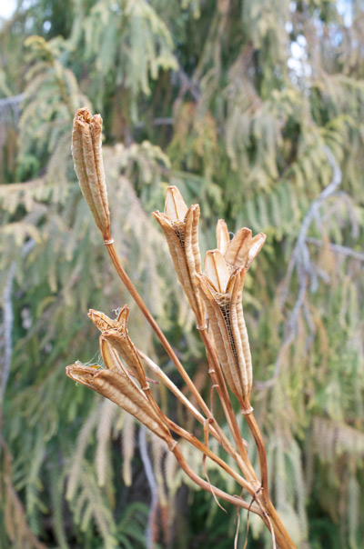 Formosa Lily flower essence