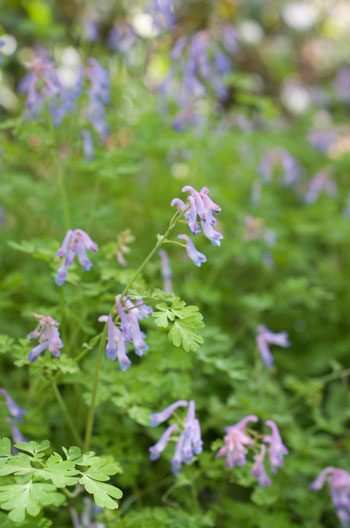 Corydalis linstowiana flower essence for intuition