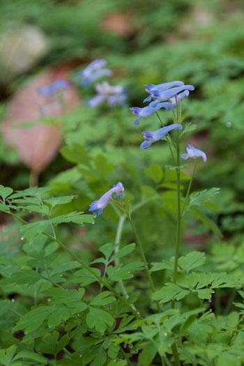 Corydalis linstowiana flower essence