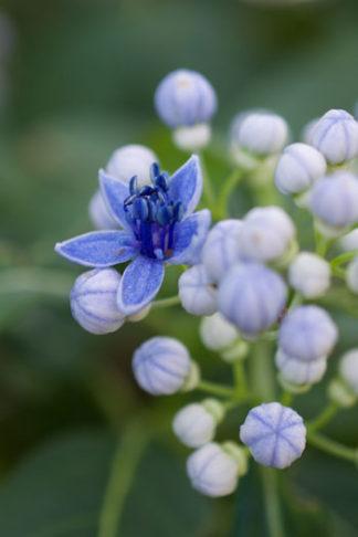 Dichroa febrifuga flower essence