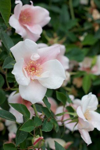 Rosa chinensis var spontanea flower essence