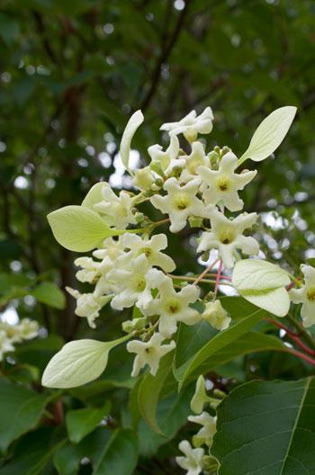 Emmenopterys henryi flower essence