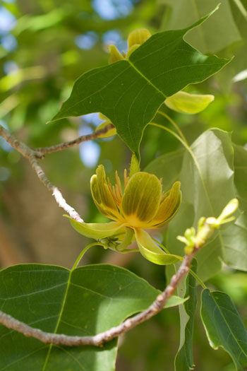 Liriodendron chinense flower essence