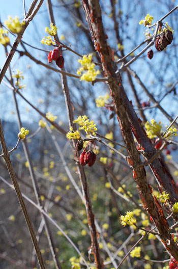 Cornus officinalis flower essence
