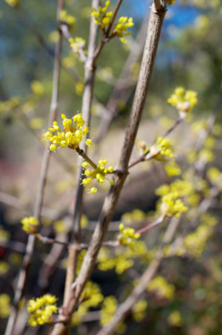 Cornus officinalis flower essence