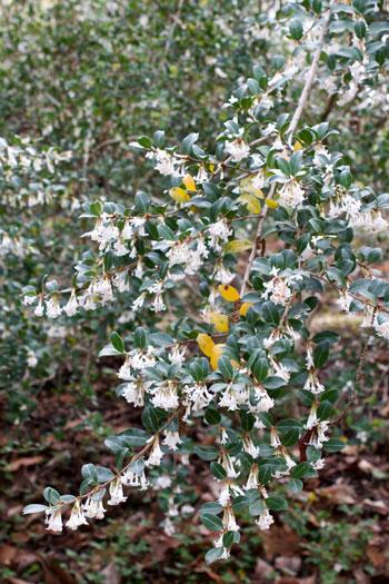 Osmanthus delavayi flower essence