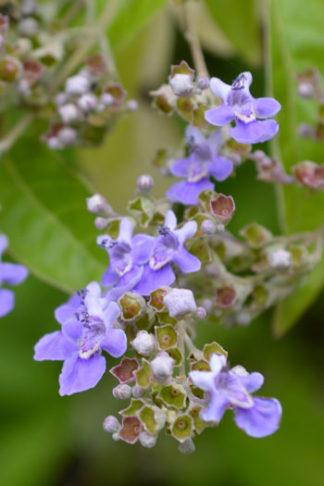 Vitex negundo flower essence