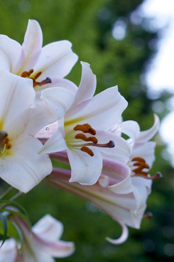 Lilium formosanum flower essence