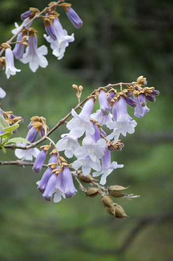 Paulownia tomentosa flower essence