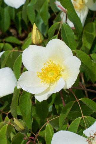 Rosa odora var gigantea flower essence