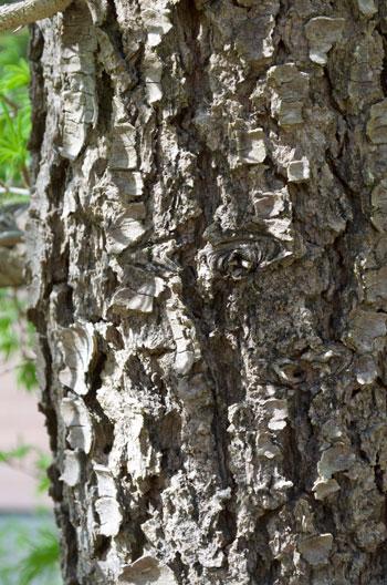 Pseudolarix amabilis bark