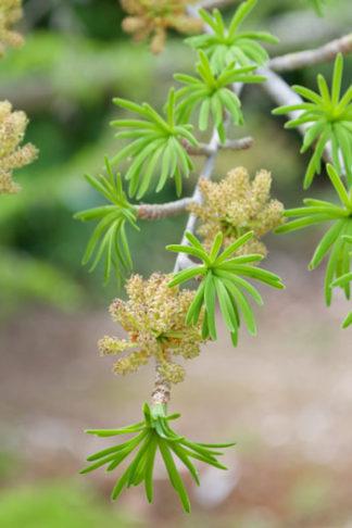 Pseudolarix amabilis flower essence