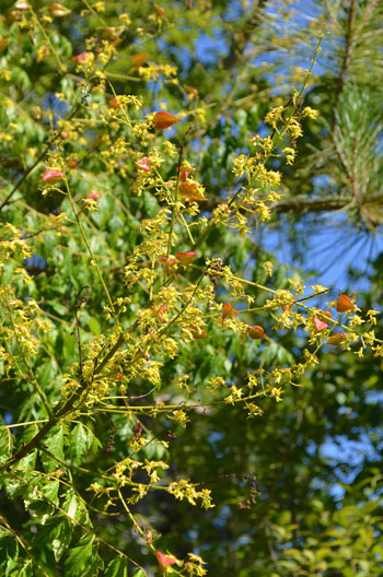 Koelreuteria paniculata flower essence