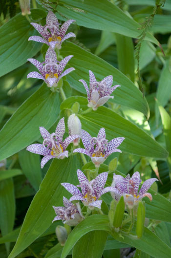 Tricyrtis formosana flower essence