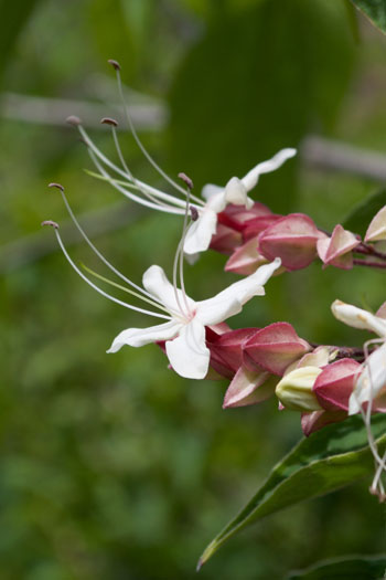 Clerodendrum trichotomum flower essence