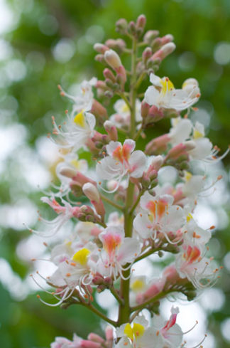 Aesculus indica flower essence