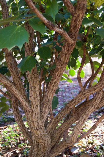 Mahonia leschenaultiana bark detail