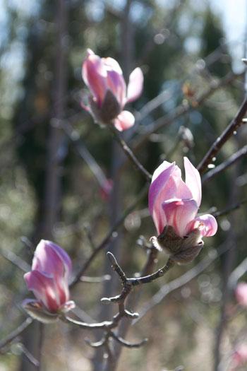 Magnolia biondii flower essence