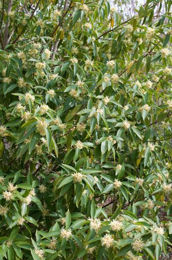 Illicium simonsii flower essence