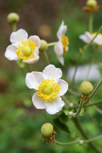 Anemone hupehensis flower essence