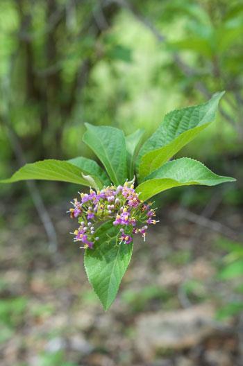 Callicarpa japonica flower essence