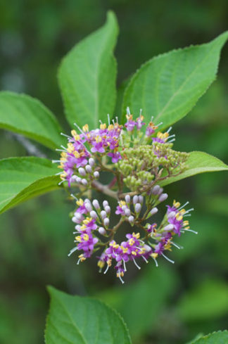Callicarpa japonica var. luxurians flower essence