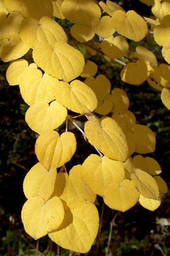 Cercidiphyllum japonica in fall color