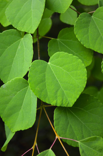 Cercidiphyllum japonica flower essence