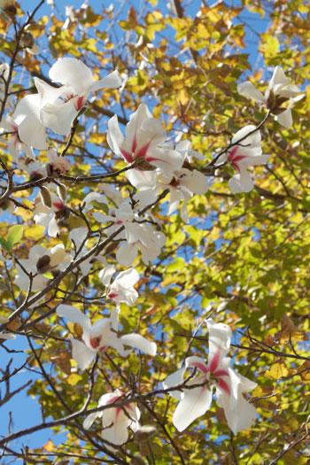 Magnolia kobus flower essence