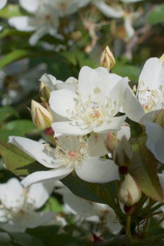 Rosa banksiae var normalis flower essence