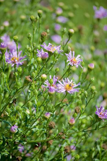 Aster ageratoides var yezoensis flower essence