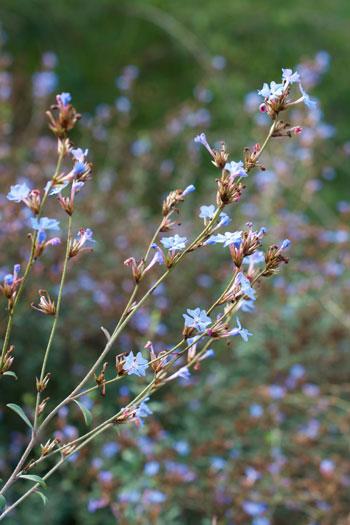 Ceratostigma minus flower essence