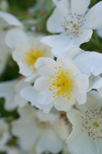 Rosa multiflora var adenochaeta flower essence