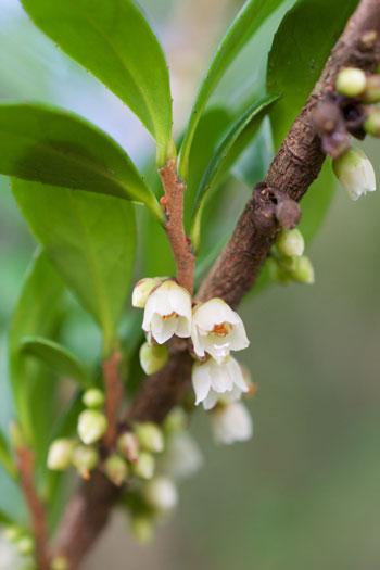 Eurya emarginata flower essence