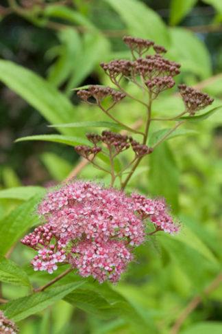 Spirea japonica var acuminata flower essence