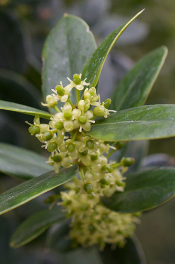 Ilex dimorphophylla flower essence