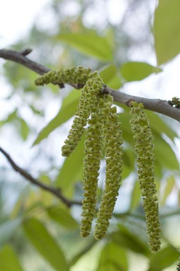 Juglans regia var. kamaonia flower essence
