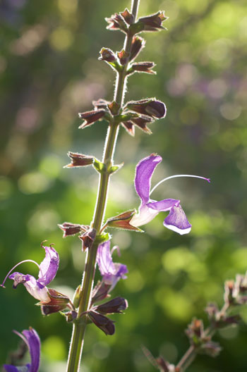 Salvia przewalskii var przewalskii flower essence