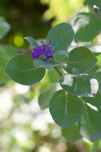 Vitex rotundifolia flower essence