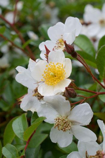 Rosa longicuspis flower essence