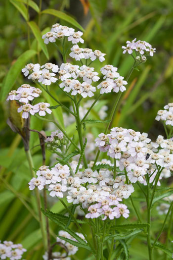 Achillea sibirica flower essence