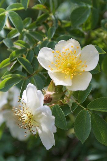 Rosa soulieana flower essence