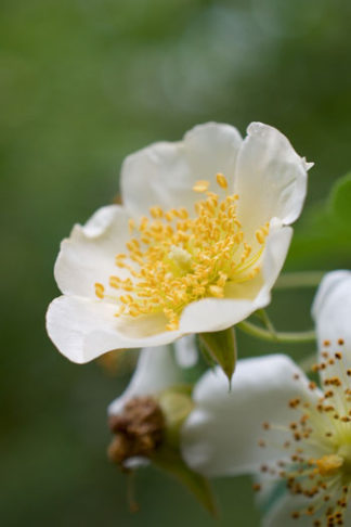 Rosa soulieana flower essence