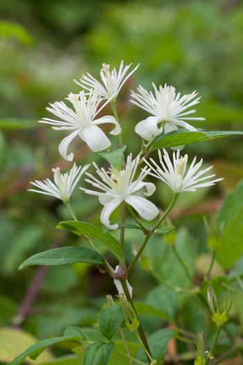 Clematis apiifolia flower essence
