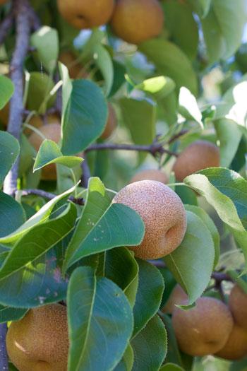 Pyrus ussuriensis fruit
