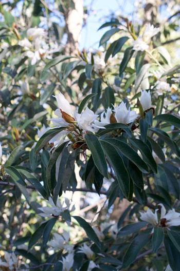 Magnolia floribunda flower essence