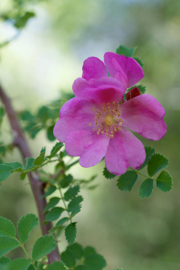 Rosa willmottiae flower essence