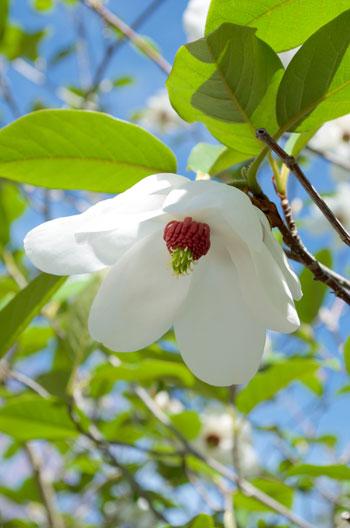Magnolia wilsonii flower essence