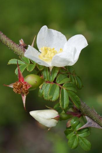 Rosa sericae flower essence
