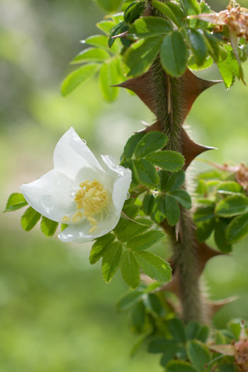 Rosa sericae flower essence